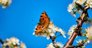 Schmetterling auf Obstblüte.